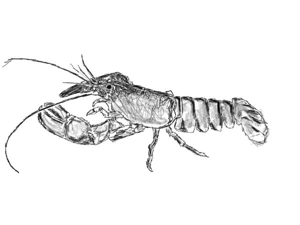 Live Newlyn Lobster Pysk
